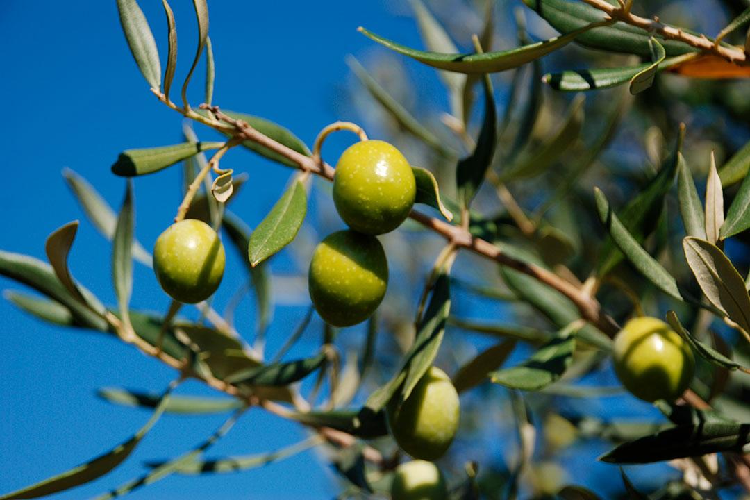 Olive Leaves Extract Oleuropein OLIFE