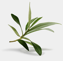 olive leaf extract stabilizes blood sugar levels