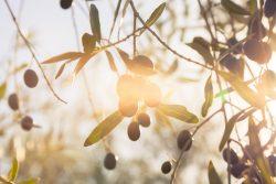 Olive Leaf Extract Hydroxytirosol