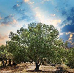 Olive Leaf Extract OLIFE