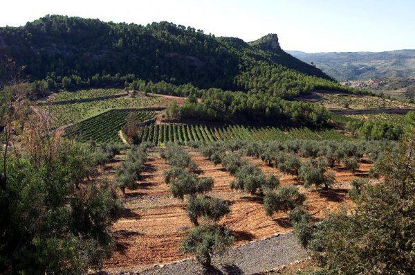 Olive Trees Grove Harvesting